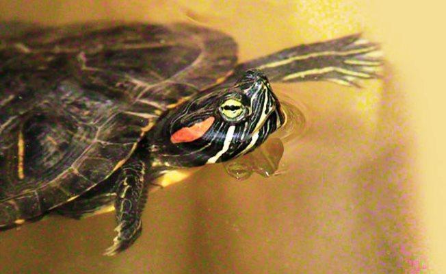 İstanbul'un son istilacıları kırmızı yanaklı su kaplumbağası!