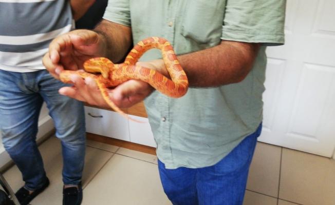 Küçükçekmece'de egzotik yılan operasyonu