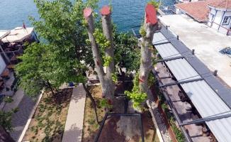 Tarihi Çengelköy Çınarı toprağa tutundu