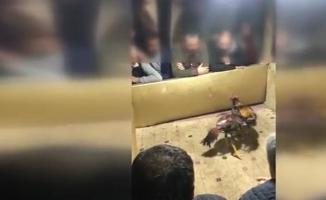Üsküar'da horoz dövüşü yaptıranlara gözaltı