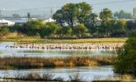 Ak Pelikanlar Karacabey'de dinleniyor