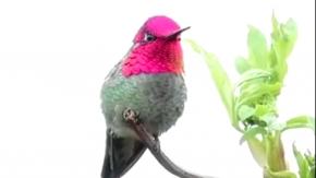 Bukalemun kuş