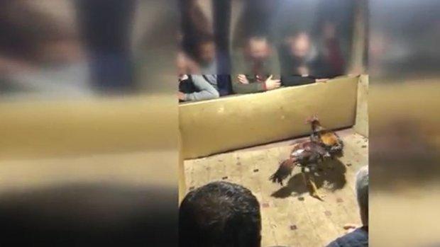 Üsküdar'da horoz dövüşü